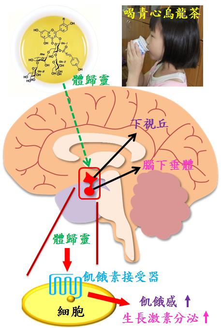 (圖四)  飢餓素藥物及體歸靈